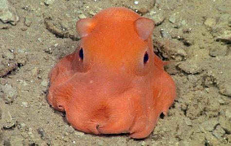 Feature Creature: Adorabilis Octopus