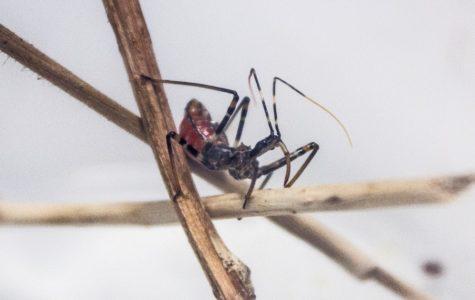Feature Creature: Assassin Bugs