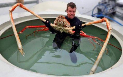 Feature Creature: Japanese Spider Crab