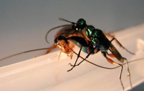Feature Creature: Jewel Wasp