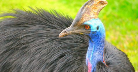 Feature Creature: Cassowary