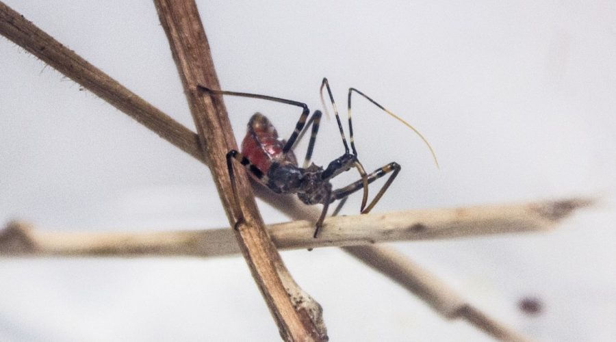 Feature Creature: Assassin Bugs