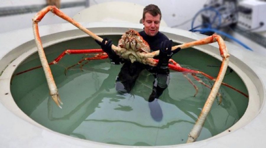 Feature Creature: Japanese Spider Crab
